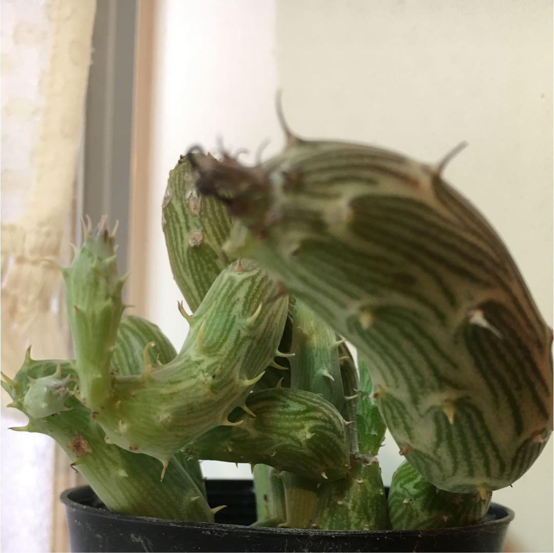 メルカリ - 多肉植物 セネシオ 初鷹 観葉植物 サボテン インテリア